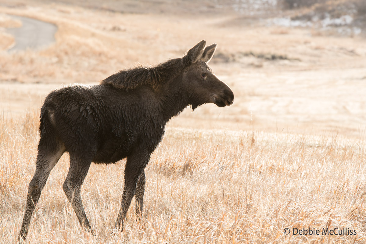 Moose, November, 2017, Colorado, Steamboat Springs, photo