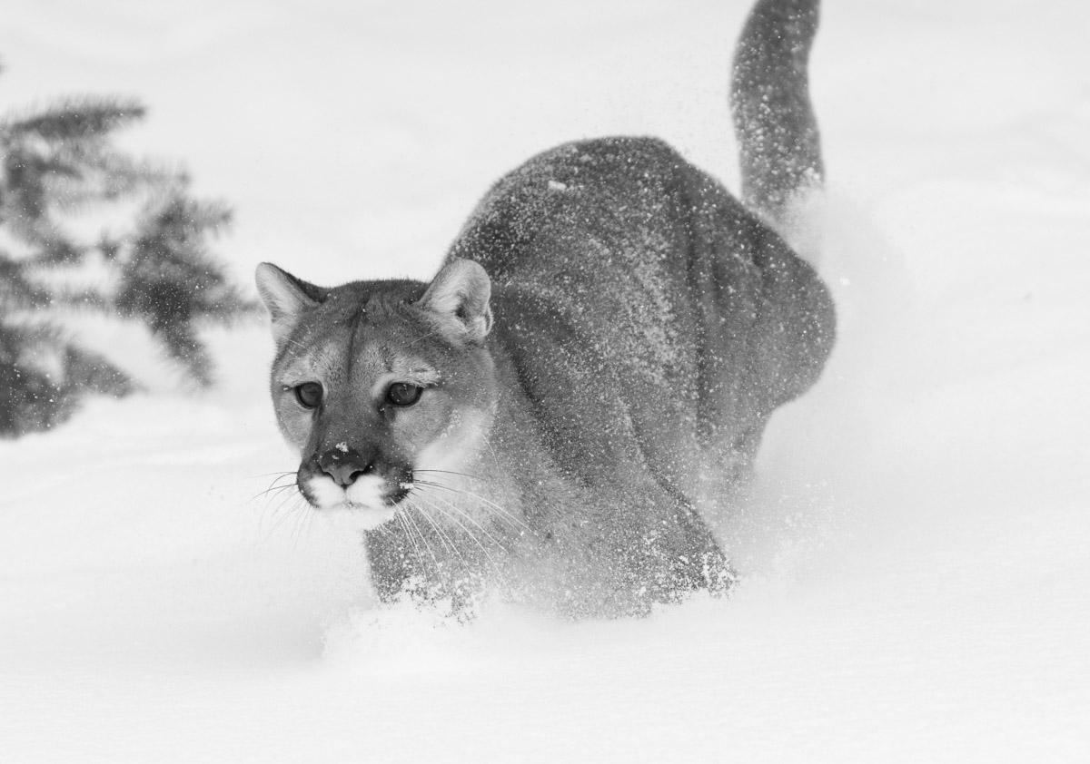 Montana, Mountain Lion, Black and White, photo