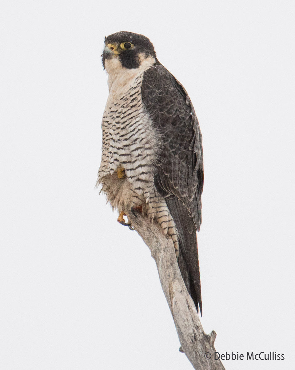 Perigrine Falcon, photo