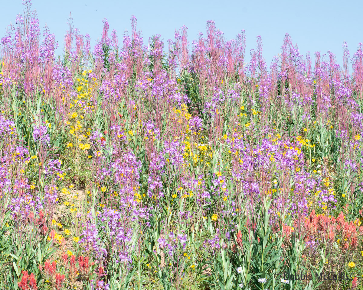 Rabbit Ears Pass, Colorado, wildflowers, summer, photo
