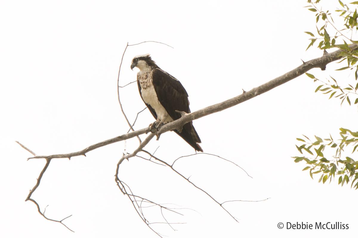 Osprey, photo
