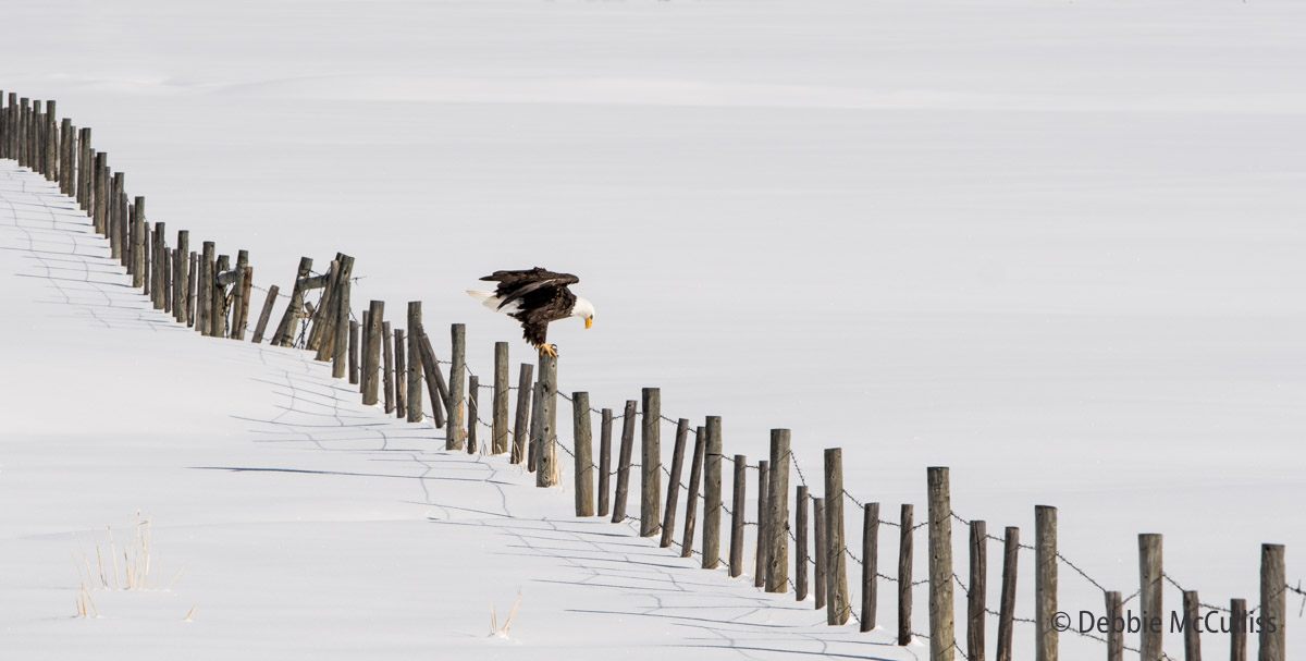 Bald Eagle, photo