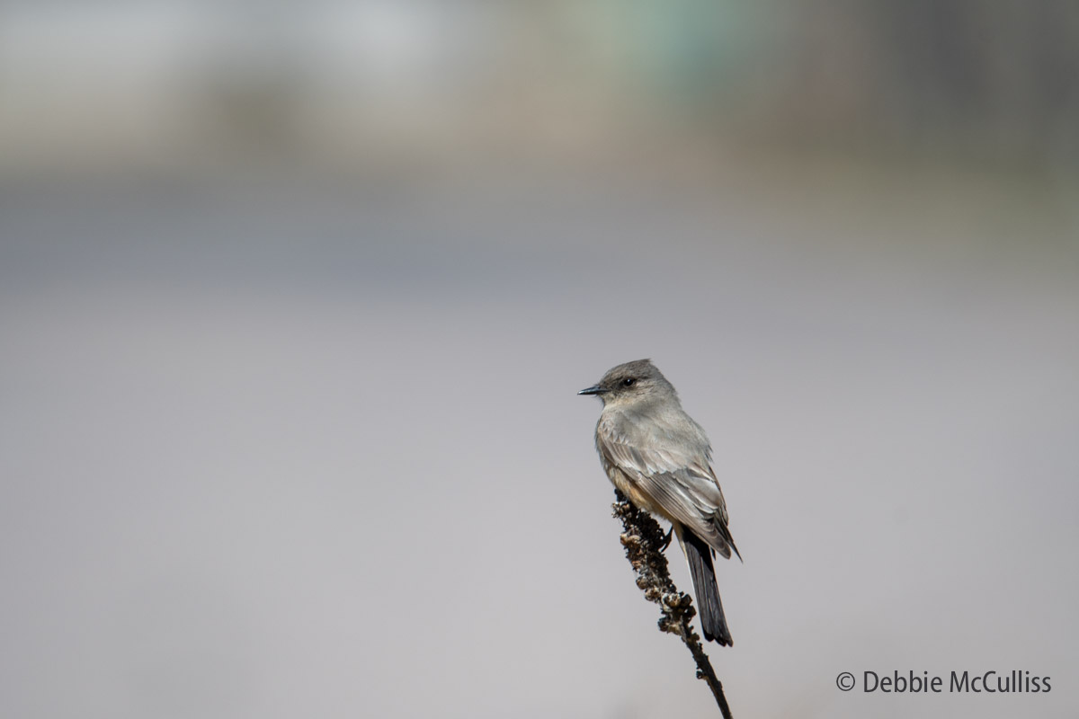 Rocky Mountain Arsenal National Wildlife Refuge, Says Phoebe, flycatcher, photo