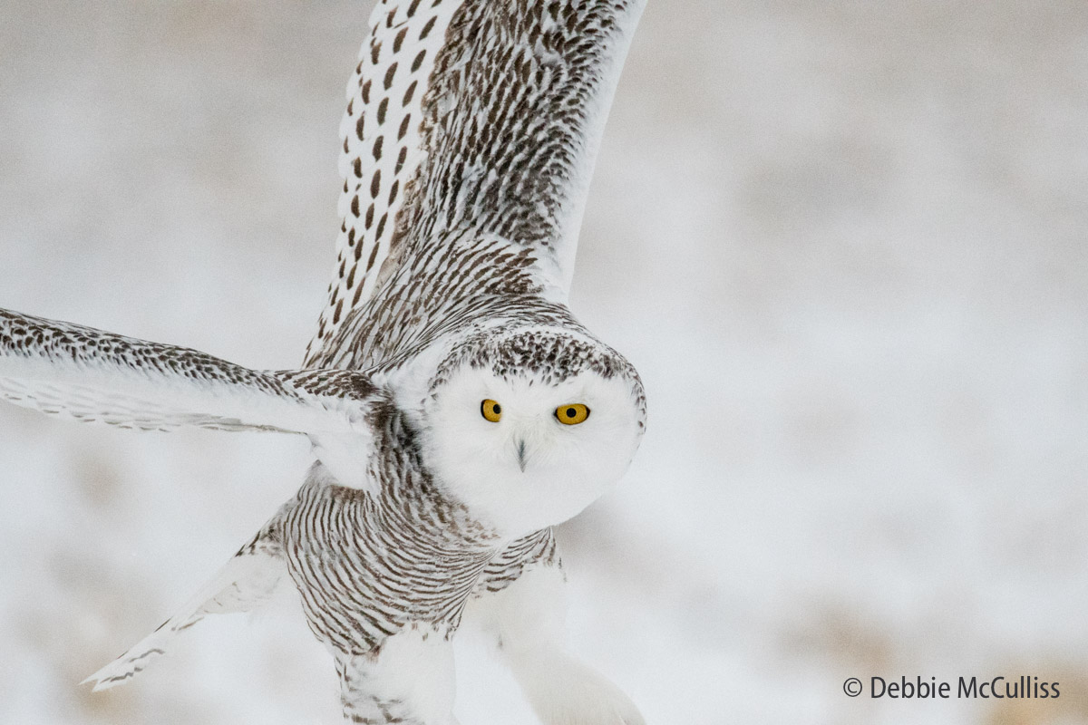 Snowy Owl, photo
