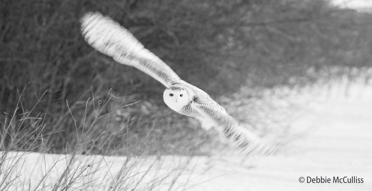 Snowy Owl, photo