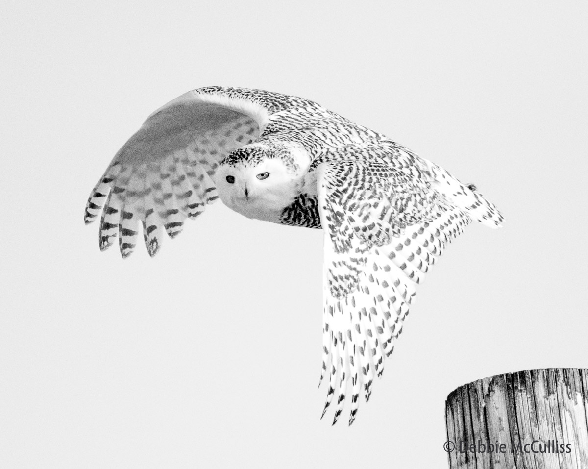 Snowy Owl Safari January 2018, photo