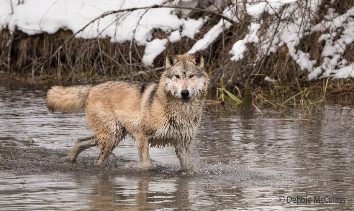 The wolf is native to the wilderness and select areas ofNorth America. A lone wolf's howling can attract the attention...