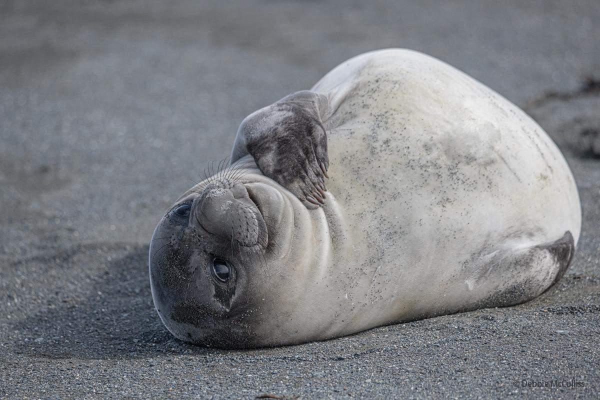 southern elephant seal, , photo