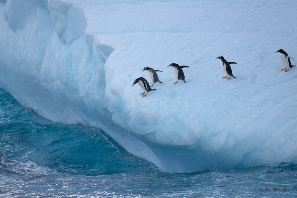 Chinstrap Penguins, one of 17 species of penguins in the world, inhabits a variety of islands and shores in the Southern Pacific...