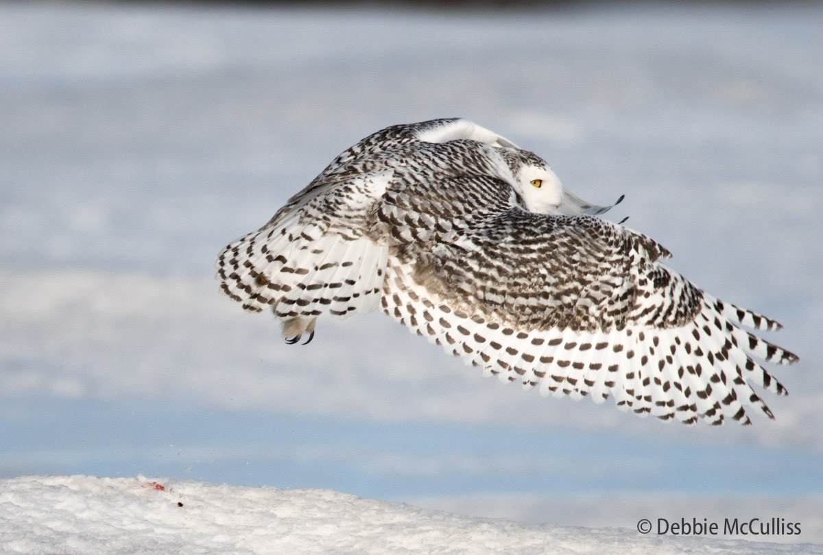 Snowy Owl , photo